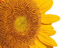 Close up of a sunflower, side view, isolated on white Royalty Free Stock Image