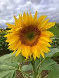 Single sunflower in a field. Close up of a sunflower stock images