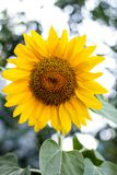 Close up of sunflower, Sunflower flower of summer in field, sunflower natrue background.  royalty free stock photography
