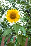 Close up of sunflower, Sunflower flower of summer in field, sunflower natrue background.  stock image