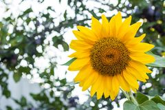 Close up of sunflower, Sunflower flower of summer in field, sunflower natrue background with copy space.  royalty free stock images