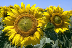 Close-up of sunflower in sunflowers field, Spain Royalty Free Stock Photo