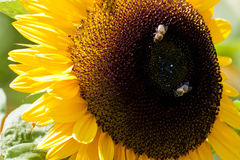 Close-up of sunflower with two bees Stock Photo