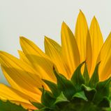 Close-up of sunflower under sun light royalty free stock photos