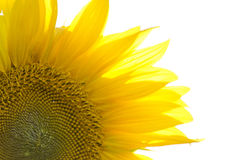 Close up of a sunflower Royalty Free Stock Photo