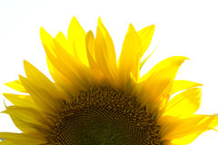 Close up of a sunflower Royalty Free Stock Image