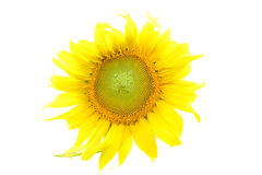 Close up sunflower on white Royalty Free Stock Images