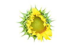 Close up sunflower on white Royalty Free Stock Photography