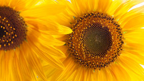 Close-up of sunflower Royalty Free Stock Photo