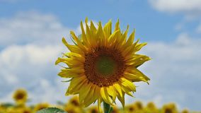 Close up of sunflower and zoom out to a field of blooming sunflowers stock video footage