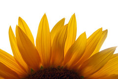 Close up of sunflowers Stock Photos