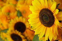 Close-up of sunflowers. Decorative arrangement Royalty Free Stock Image