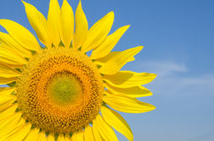 Close-up of sunflowers against a blue sky Royalty Free Stock Photos