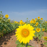 Close-up of sunflowers against a blue sky Royalty Free Stock Image