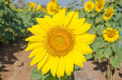 Close-up of sunflowers against a blue sky Royalty Free Stock Images