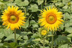 Close up of sunflowers in bloom Royalty Free Stock Photos