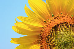 Close up of sunflowers Stock Image