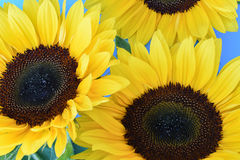 Close up of sunflowers on blue Royalty Free Stock Image