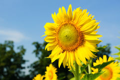 Close-up of sunflowers on field. Close-up of sunflowers against a blue sky on field Stock Photography