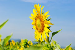 Close-up of sunflowers on field. Close-up of sunflowers against a blue sky on field Royalty Free Stock Photography