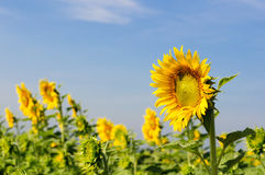 Close-up of sunflowers on field. Close-up young sunflower in field with blue sky Stock Images