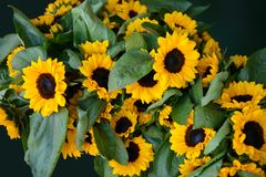 Sunflowers close up with background leaves Stock Image