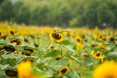 A close-up of sunflowers ope Stock Photo
