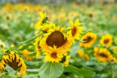 A close-up of sunflowers ope Royalty Free Stock Image