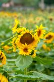 A close-up of sunflowers ope Stock Photos