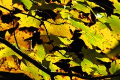 AUTUMN-FALL- Vibrant Leaves Against a Dark Sky royalty free stock images