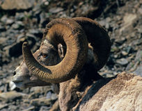 Close-up sunlit bighorn ram profile Royalty Free Stock Images