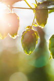 Close-up of a sunlit common hop cones Royalty Free Stock Photography