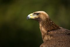 Close-up of sunlit golden eagle against trees Royalty Free Stock Image