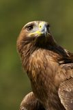 Close-up of sunlit golden eagle from below Stock Images