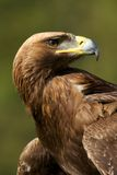 Close-up of sunlit golden eagle looking back Stock Photo