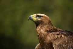 Close-up of sunlit golden eagle looking up Royalty Free Stock Photography
