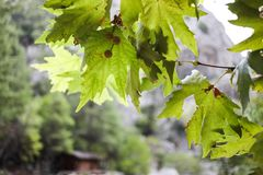 Sunlit green maple branch on blurred background of house in mountains. Close-up sunlit green maple branch on blurred background of house in mountains. Selective stock image