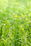 Close-up sunlit green summer morning grass meadow. Close-up green summer morning grass meadow with bright sunlight. Spring or summer abstract nature background stock images