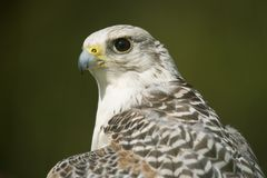 Close-up of sunlit gyrfalcon head and neck Royalty Free Stock Image