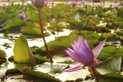 Sunlit Purple Lotus Flower royalty free stock photos