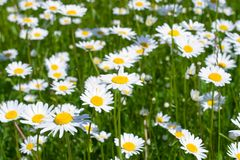 Close-up of sunny chamomile Royalty Free Stock Photos
