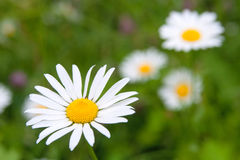 Close-up of sunny chamomile Stock Photography