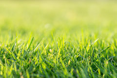 Close up sunny green grass lawn in spring Stock Image