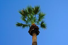 Palm tree crest on a clear blue sky. Close up of sunny palm tree crest on a clear blue sky Stock Photo