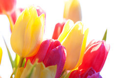 Close Up Of Sunny Tulip Flower Meadow Isolated With Water Drop. Sunny Bouquet Or Bunch Of Tulip Flowers Or Flower Meadow As Close Up And Isolated On White Stock Image