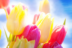 Close Up Of Sunny Tulip Flower Meadow With Water drop And Blue Sky. Sunny Bouquet Or Bunch Of Tulip Flowers Or Flower Meadow As Close Up And Water drops And Stock Photography