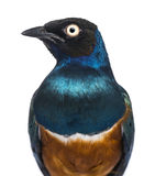 Close-up of a Superb Starling - Lamprotornis superbus Stock Photos