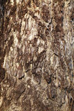 Close up surface from big tree Royalty Free Stock Photography