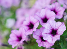 Close up Surfinia petunia Royalty Free Stock Photo