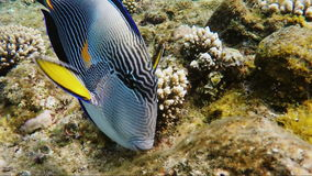 A close-up of a surgeon fish, feeding near corals. Red Sea, Egypt stock video